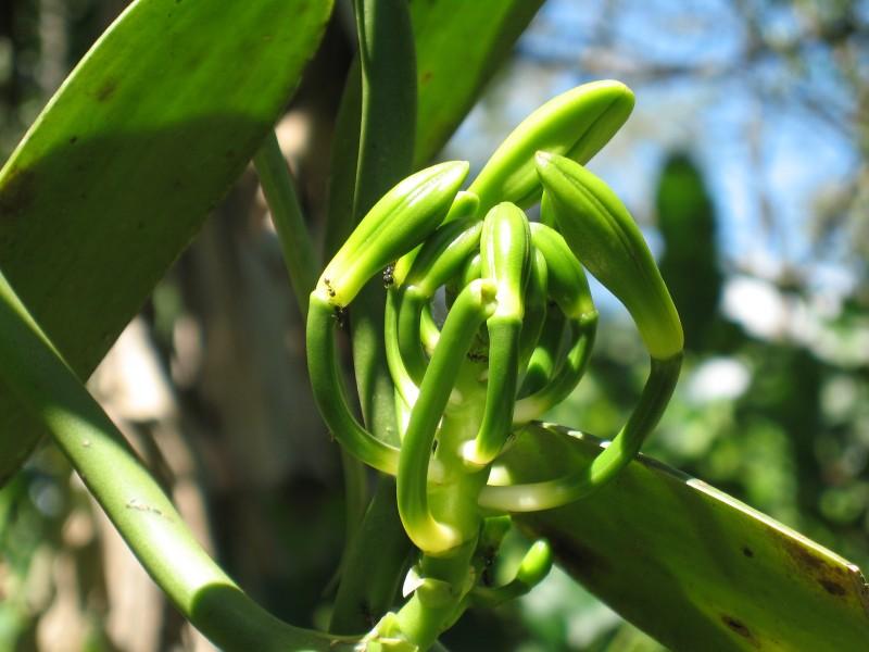 Fresh vanilla orchid – Madagascar