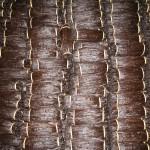 Cured vanilla – Uganda
