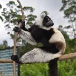 Lemur – Madagascar