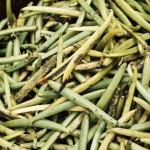 Nice mature green vanilla