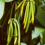 Very mature vanilla on the vine